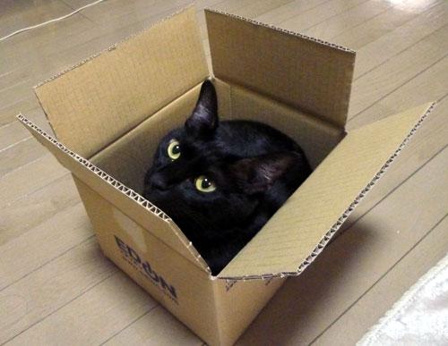 ダンボール箱の黒猫