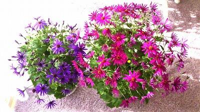 s-サイネリアピンクと紫