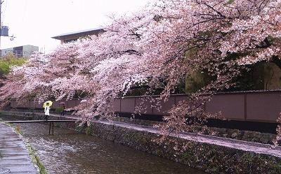s-白川沿いの桜
