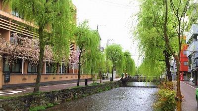 s-白川沿いの柳