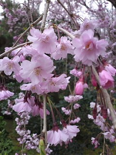 枝垂れ桜0001