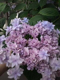 紫陽花ハート