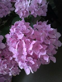 我が家ハート紫陽花