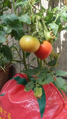 s-トマトにトマトのその後