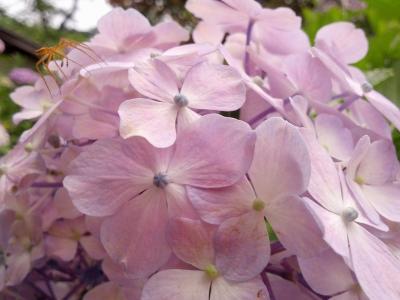 矢田寺紫陽花