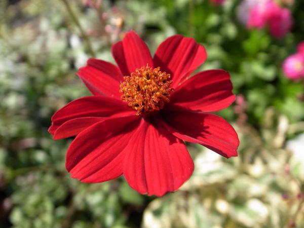 すべての折り紙 四季の折り紙 : 秋を代表するお花 コスモス ...