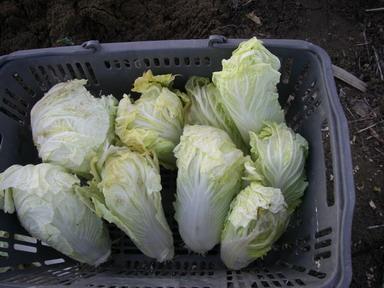 収穫白菜13_01_19