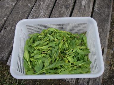 収穫チンゲンサイ菜花(11_03_19)