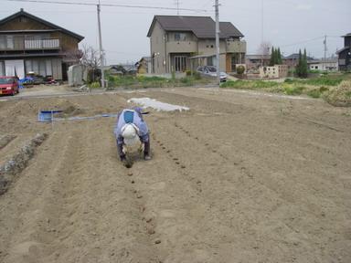 里芋植え付け11_04_07
