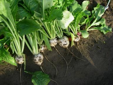 収穫111_05_13
