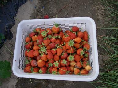 イチゴ収穫11_05_15