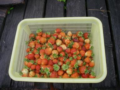 イチゴ収穫11_05_28