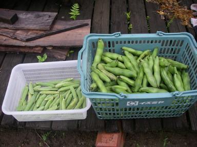 ソラマメグリーンピース収穫11_05_28