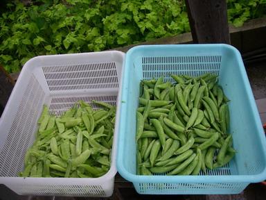 収穫11_05_29