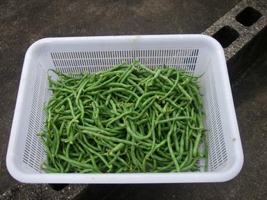 インゲン収穫11_06_19