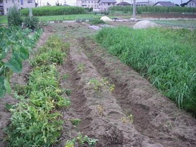 ジャガイモ草取り11_07_09