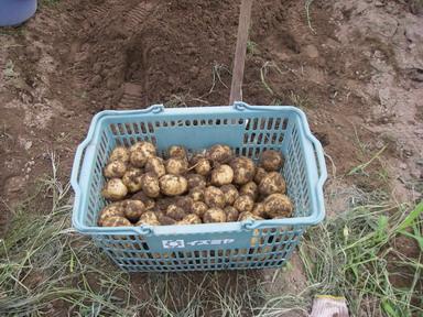 収穫ジャガイモ11_07_10