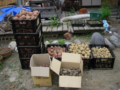 ジャガイモ収穫11_07_18