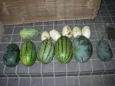 収穫スイカ11_08_20