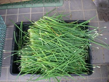 収穫ニラ11_08_21