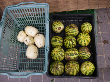 収穫ウリ11_08_27
