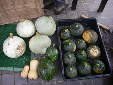 収穫カボチャ11_08_27