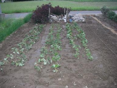 イチゴ苗移植