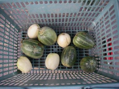 収穫ウリ11_09_17