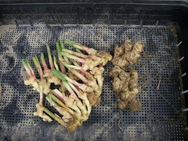 収穫ショウガ11_09_17