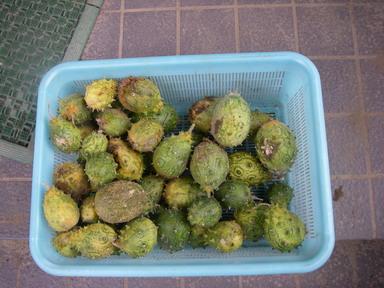 キワーノ収穫11_09_25