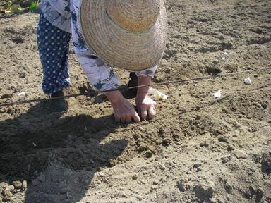 大蒜定植方法11_10_01