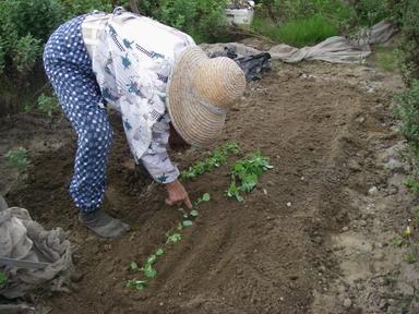 キャベツ苗植え替え11_10_02
