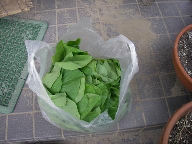 白菜間引き菜11_10_02