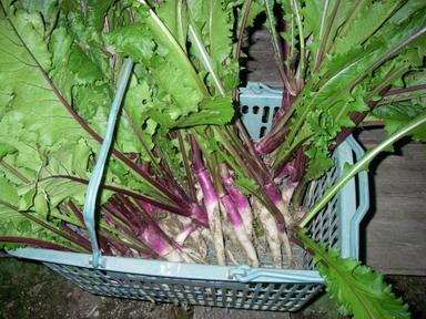 日野菜収穫11_10_28