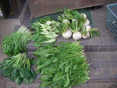 収穫菜っ葉11_11_03