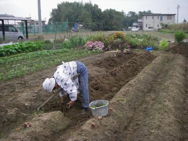 里芋掘り11_11_05