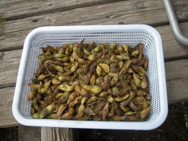 収穫黒豆11_12_11