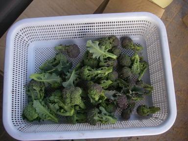 収穫ブロッコリー12_01_22