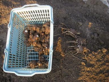 里芋収穫12_01_22