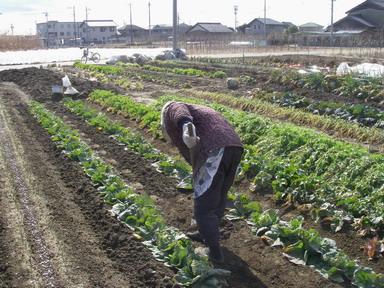 追肥と土寄せ1_12_02_11