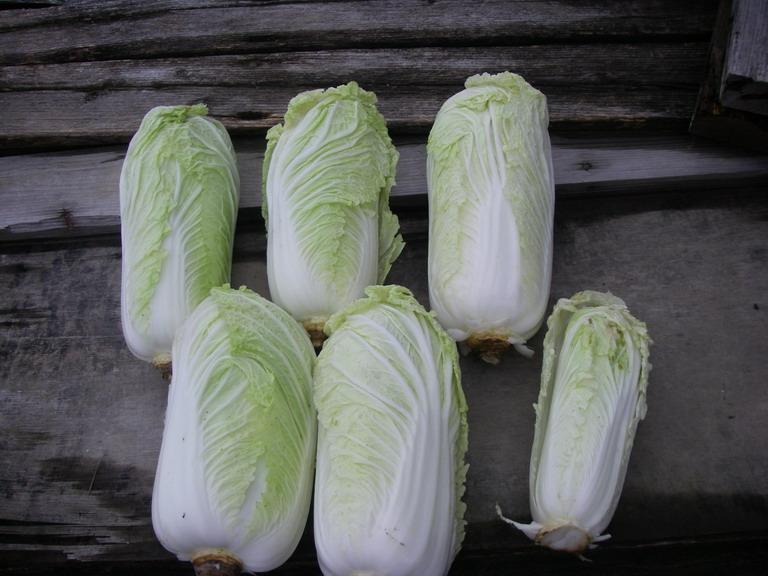 収穫白菜13_02_02