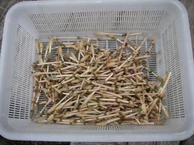 土筆収穫12_03_08