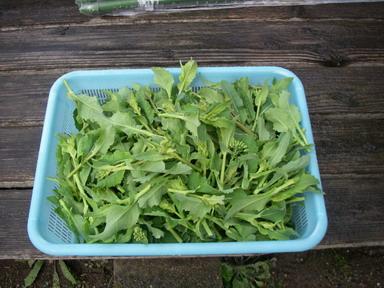 菜花収穫12_03_25