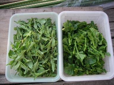 収穫ナバナ12_04_08