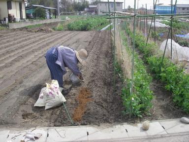 長芋牛糞堆肥12_04_15
