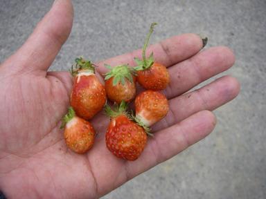 イチゴ収穫12_04_30
