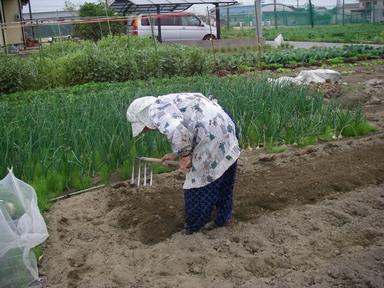トマト畝作り2_12_04_30