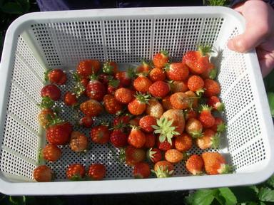 イチゴ収穫12_05_04