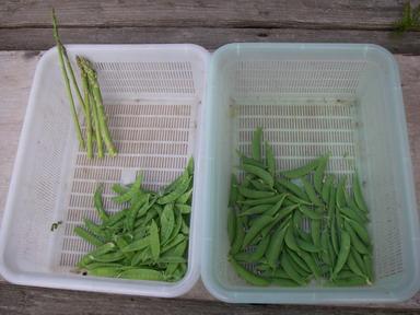 収穫エンドウ12_05_04