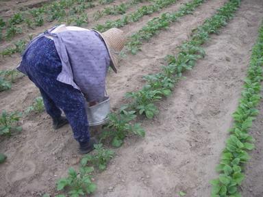 ジャガイモ追肥12_05_05